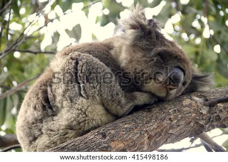 Sleeping koala on eucalyptus tree, sunlight  - stock photo