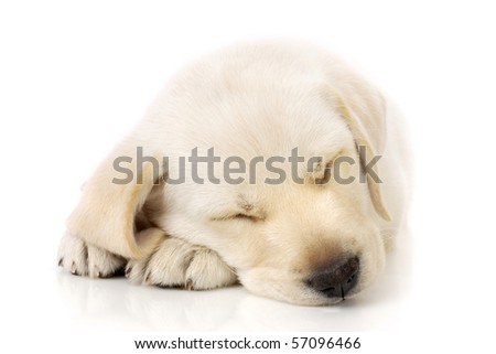 Sleeping Labrador retriever puppy against white background - stock photo