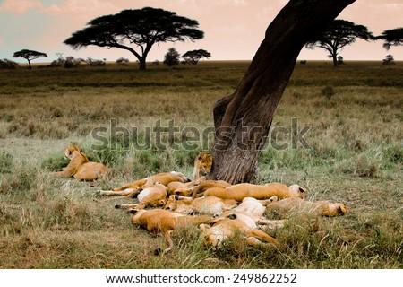 Sleeping lions in Serengeti - stock photo