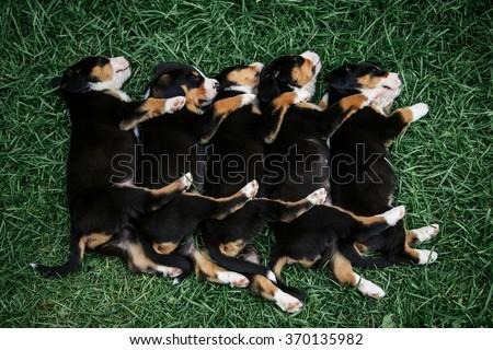 sleeping little cute puppies Entlebucher on the green grass - stock photo