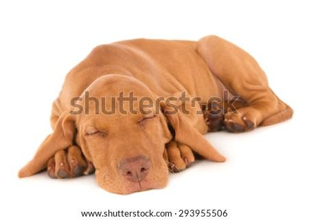 Sleeping Magyar Vizsla puppy, isolated on white - stock photo