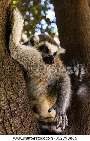 Sleeping on a tree lemur, Ring-tailed Lemur (Lemur catta) - stock photo