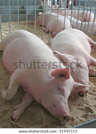 sleeping piggies - stock photo