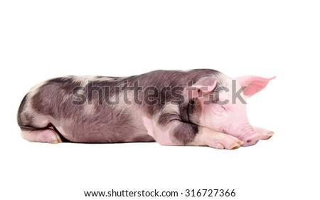 Sleeping piglet lying isolated on white background - stock photo