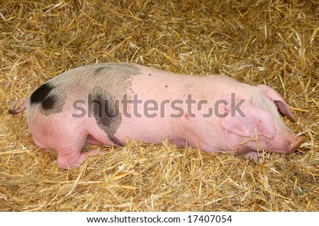 Sleeping pink pig on hay - stock photo