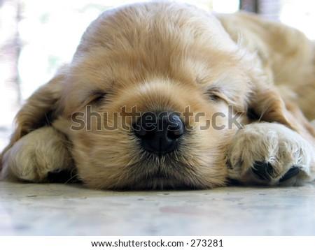 sleeping puppy - stock photo