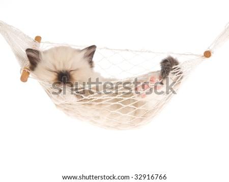 Sleeping Ragdoll kitten in mini hammock on white background - stock photo