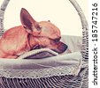 Sleeping red chihuahua dog in wicker basket with retro filter effect. Closeup.  - stock photo