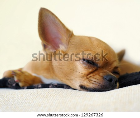 Sleeping red chihuahua dog on beige background. - stock photo