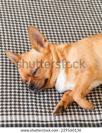 Sleeping Red Chihuahua Dog on Shemagh Pattern Background. Closeup. - stock photo