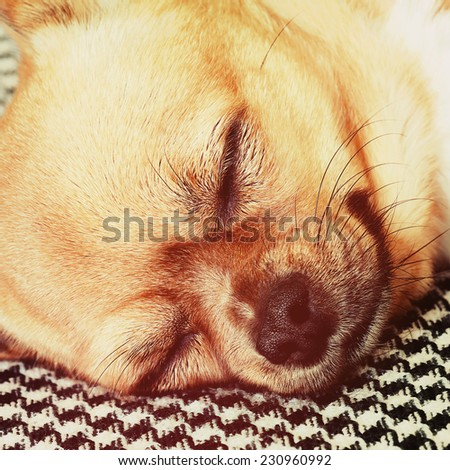 Sleeping Red Chihuahua Dog on Shemagh Pattern Background. With Retro Effect Filter. - stock photo