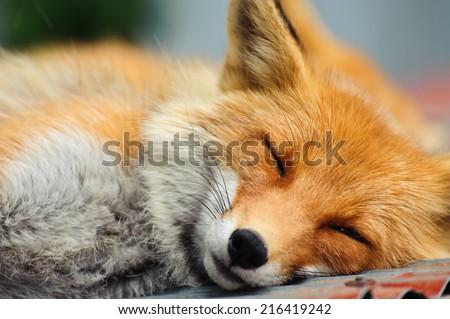 Sleeping Red Fox (Vulpes Vulpes ) in Hokkaido, Japan - stock photo