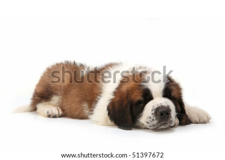 Sleeping Saint Bernard Puppy Lying on a  White Background - stock photo