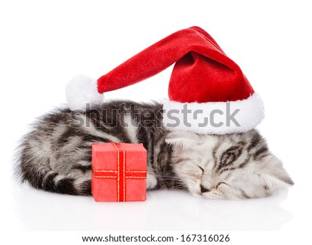 sleeping scottish kitten with santa hat and red box. isolated on white background