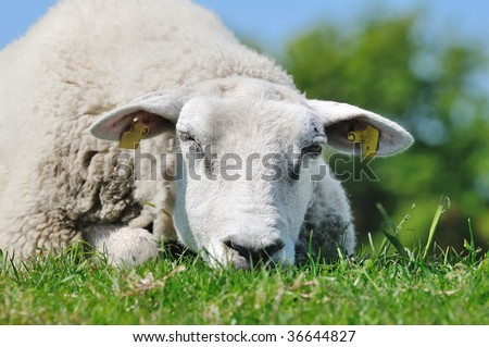 Sleeping Sheep - stock photo
