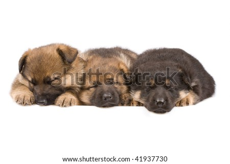 sleeping sheepdogs puppys isolated on white background