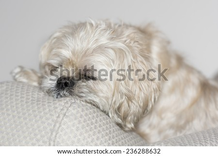 Sleeping Shih Tzu cross   - stock photo