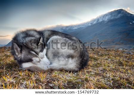 sleeping siberian husky - stock photo
