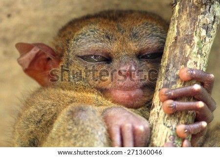 Sleeping tarsier, Bohol Island, Philippines - stock photo