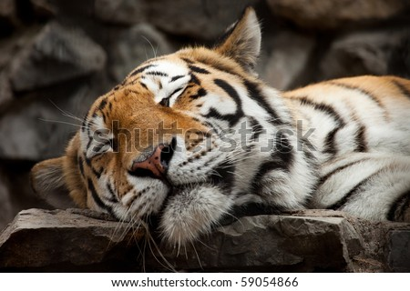 sleeping tiger face portrait - stock photo