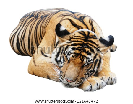 Sleeping tiger, isolated on white background - stock photo