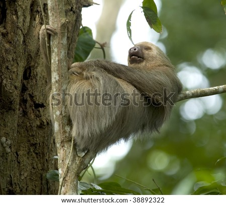 sleeping two toe sloth in tree, cahuita, costa rica, central america - stock photo