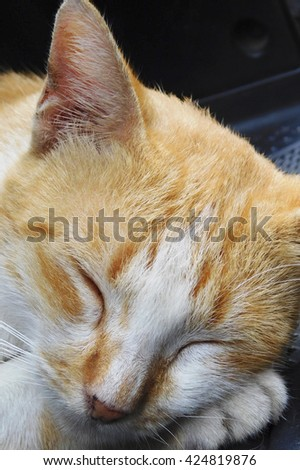Sleeping white yellow mottle cat with black background. Close up angle portrait.