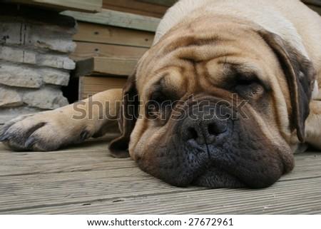 Sleepping cute mastiff - stock photo