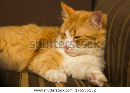 Sleepy, beautiful, orange and white tomcat on a brown armchair