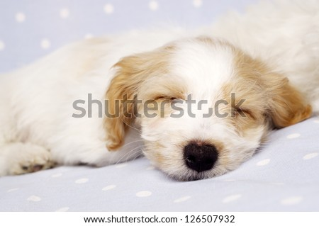 Sleepy Bichon Frise cross puppy laid on a baby blue spotted background - stock photo