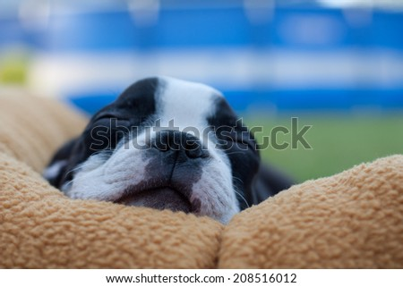Sleepy Boston Terrier Puppy
