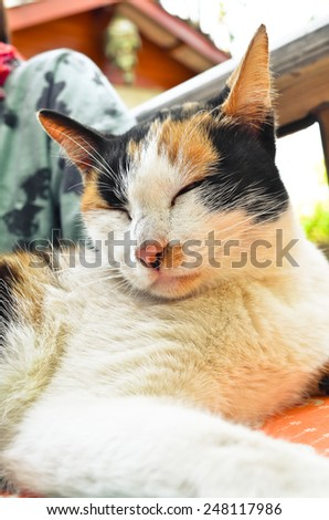 sleepy british kitten over black background - Stock Image - stock photo