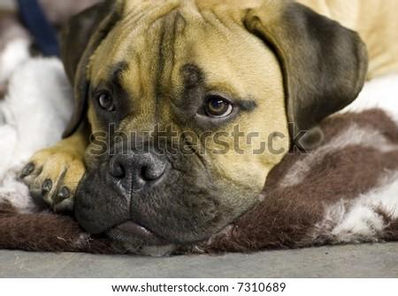 Sleepy bullmastiff - stock photo