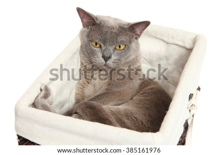 Sleepy Burmese cat lying in a basket on white background