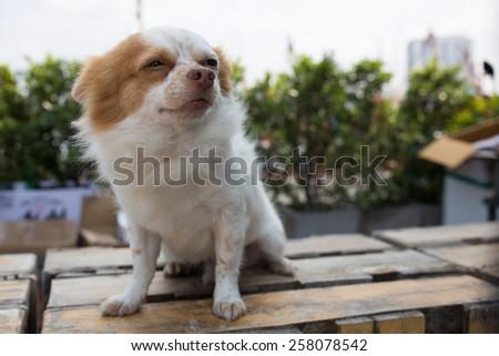 Sleepy chihuahua - stock photo
