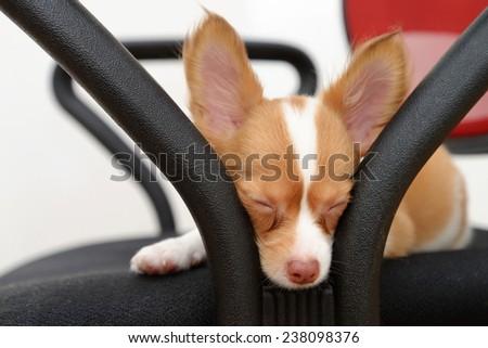 Sleepy Chihuahua puppy - stock photo