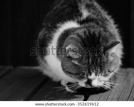 sleepy chubby pussy cat lied on the wooden ground around outdoor of village focused on its head black and white - stock photo