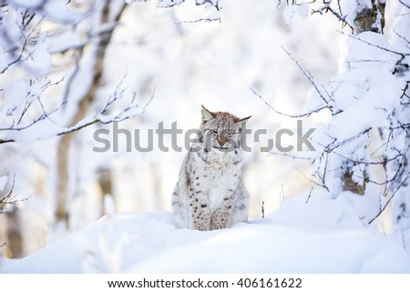 Sleepy cute lynx cub in the cold winter forest - stock photo