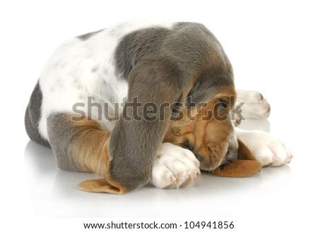 sleepy dog - basset hound curled up with cute sleeping expression - stock photo