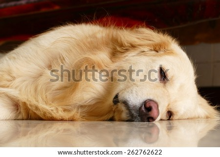 Sleepy Face Golden Retriever Dog