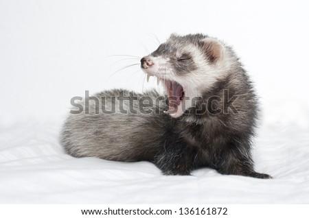 Sleepy ferret close up - stock photo