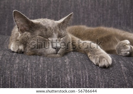 sleepy gray cat on a sofa - stock photo