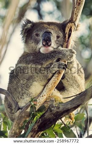 Sleepy koala - stock photo