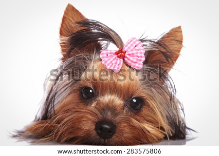 sleepy little yorkshire terrier puppy dog is lying down to rest - stock photo