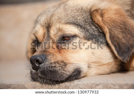 sleepy pet dog in the noon