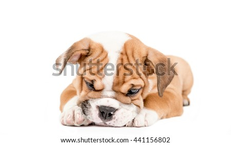 Sleepy puppy of English Bulldog isolated on white background