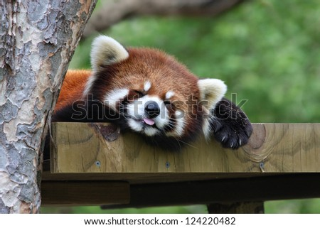 Sleepy Red Panda - stock photo