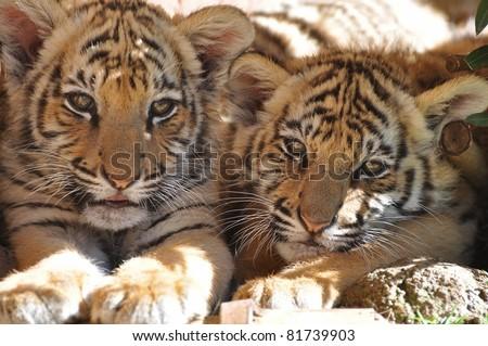 sleepy tiger cubs - stock photo