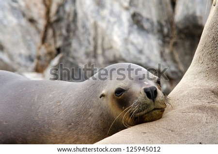 Sleepy young sea lion in southern Patagonia, Argentina - stock photo