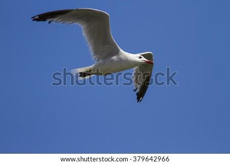 Slender-billed Gull / Chroicocephalus genei blue sky background  - stock photo